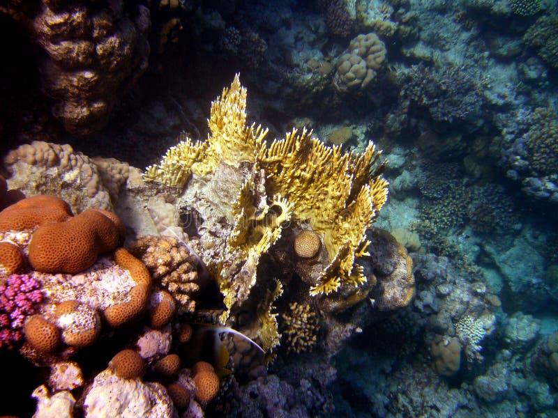 Coral del Mar Rojo fotografía de archivo