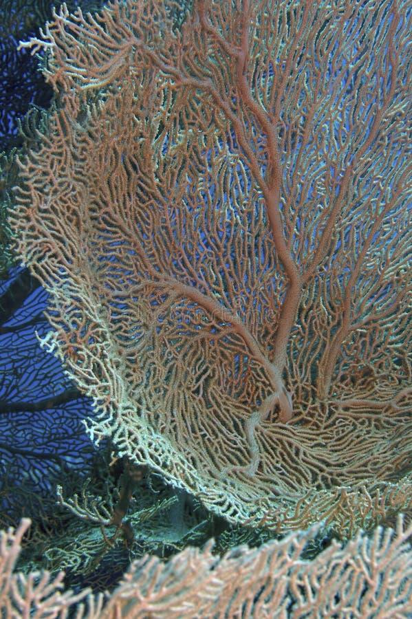 Coral del Mar Rojo imagenes de archivo