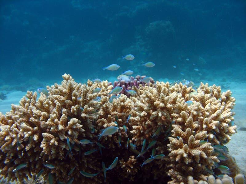Coral del primer imagen de archivo libre de regalías