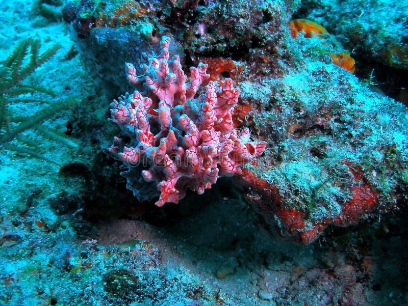 Coral do Cararibe unido imagem de stock royalty free