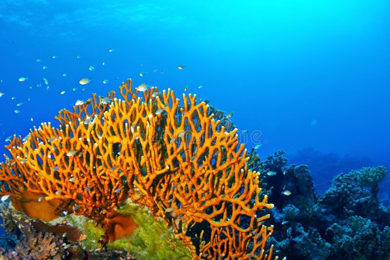 Coral do fogo foto de stock