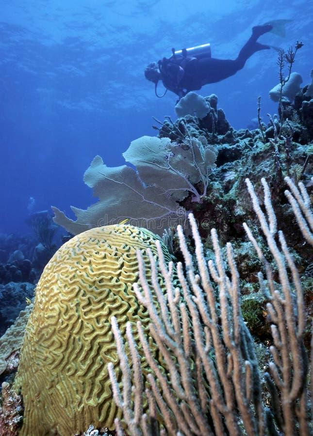 Coral do mergulhador e de cérebro foto de stock royalty free