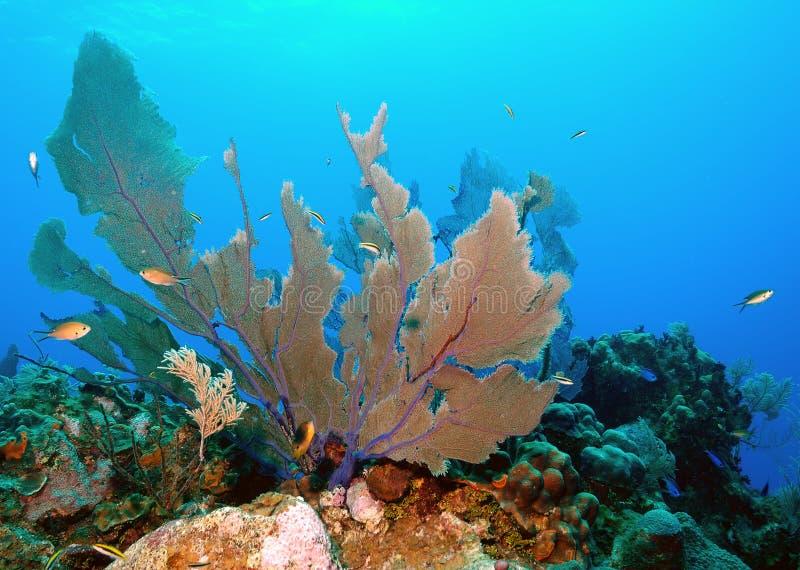 Coral do ventilador imagem de stock