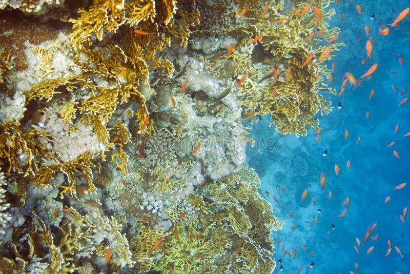 Coral duro del fuego fotos de archivo libres de regalías