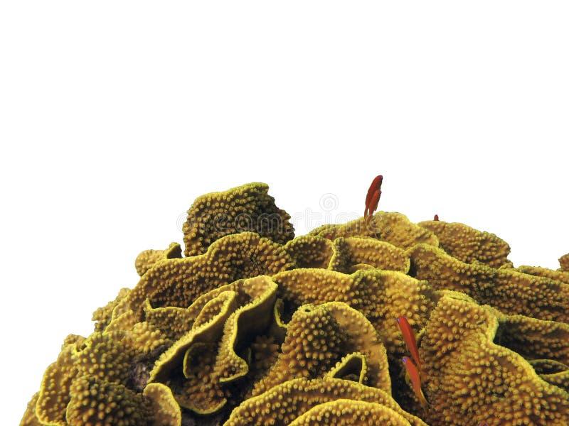 Coral duro isolado fotos de stock