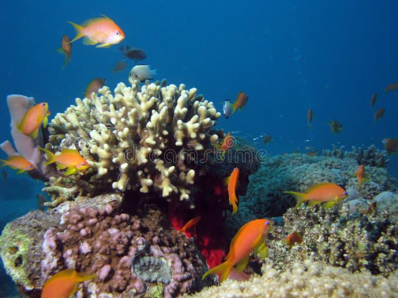 Coral e Anthias imagens de stock royalty free