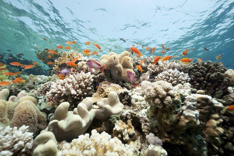 Coral e peixes no Mar Vermelho fotos de stock