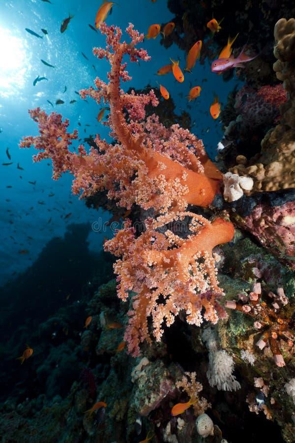 Download Coral E Peixes No Mar Vermelho. Imagem de Stock - Imagem de aquático, raio: 16859025