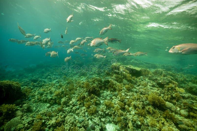 Download Coral E Peixes No Mar Vermelho. Imagem de Stock - Imagem de ambiente, escola: 16859839