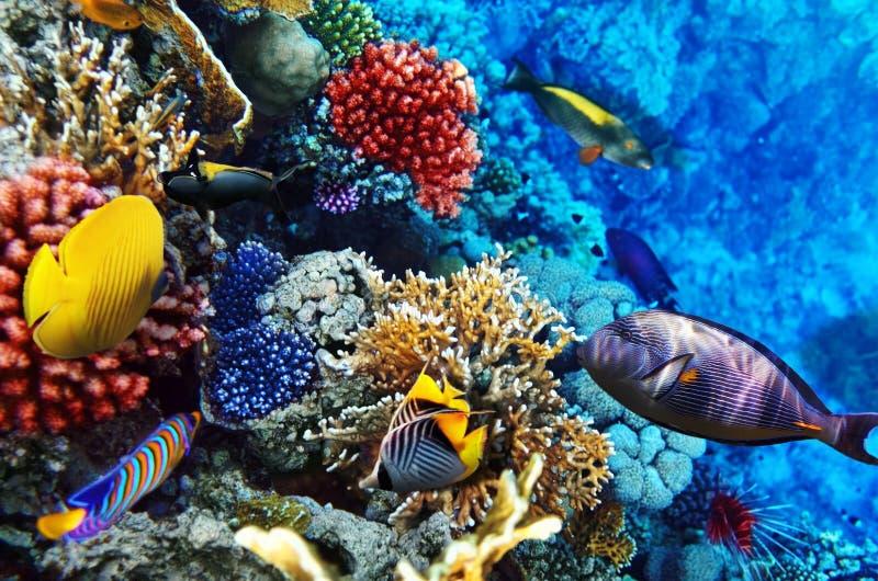 Coral e peixes no Mar Vermelho. Egito, África.