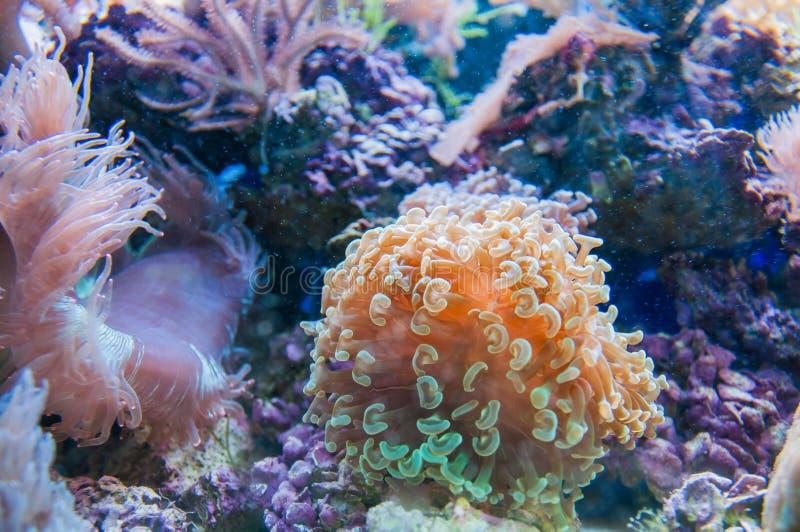 Coral en acuario fotos de archivo