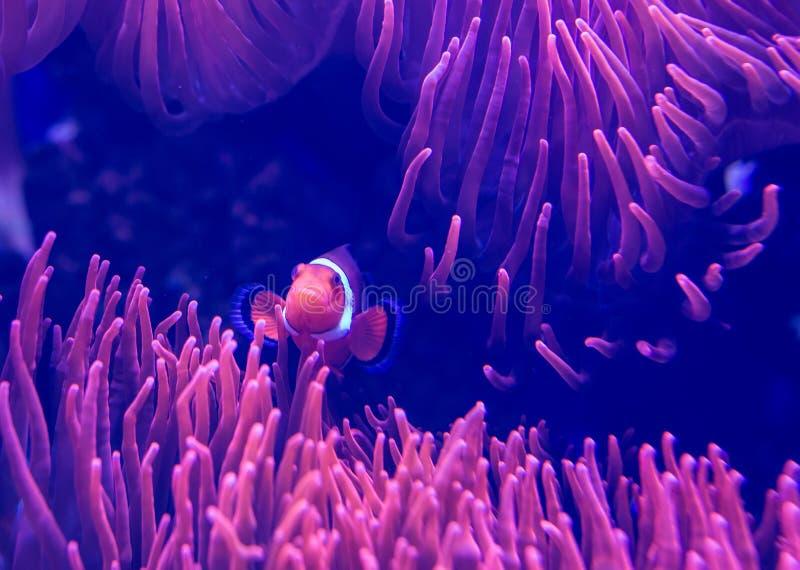 Coral en acuario imagen de archivo libre de regalías