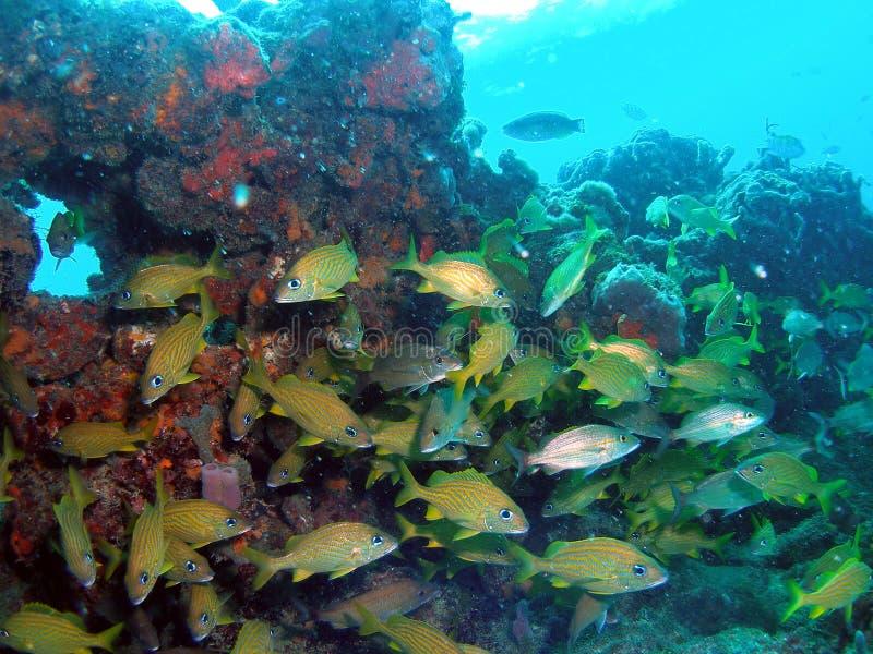 Coral en la Florida del sur imagen de archivo