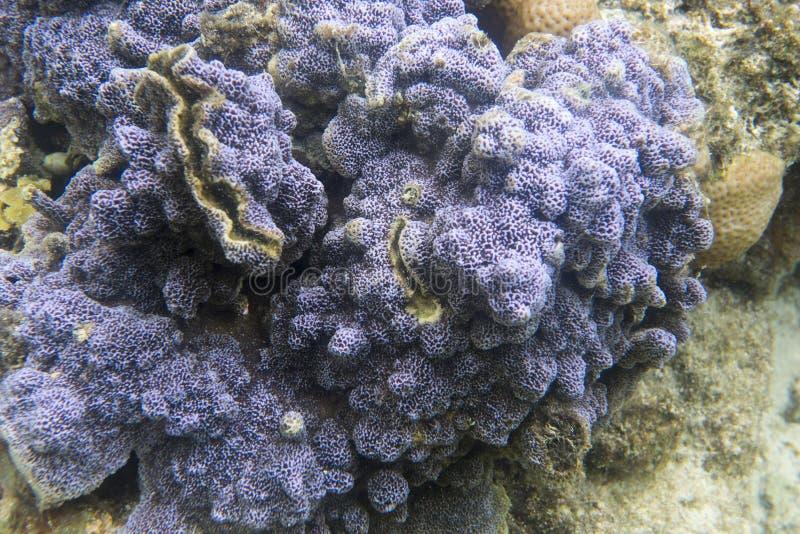 Coral encrusting azul imagens de stock royalty free