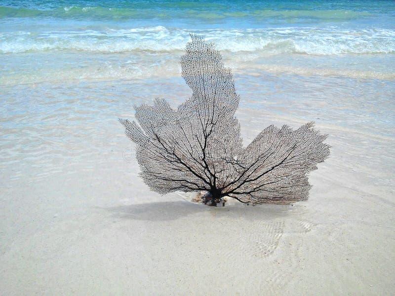 Coral Fan photos libres de droits