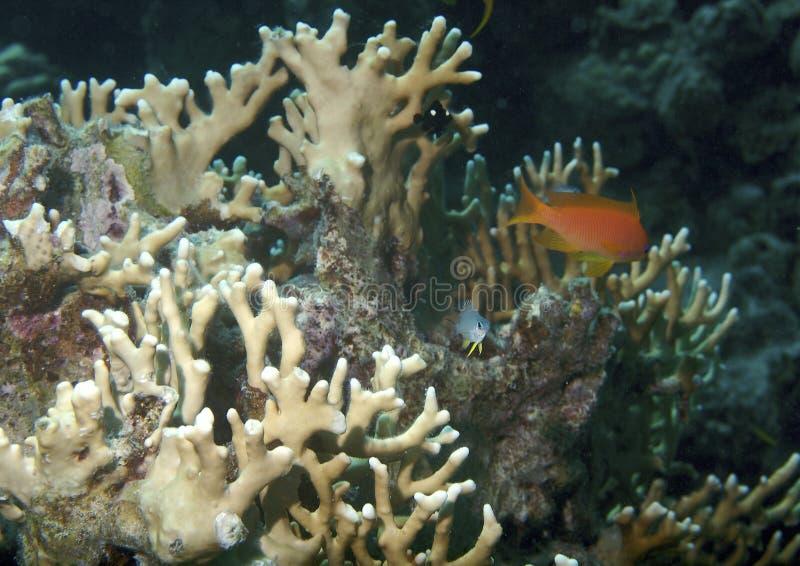 Coral-filón fotografía de archivo libre de regalías