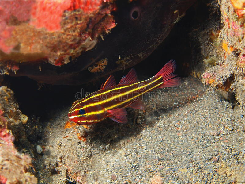 Coral Fish foto de stock royalty free