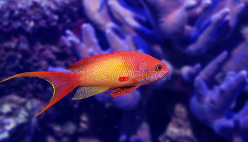 Coral Fish royaltyfri foto