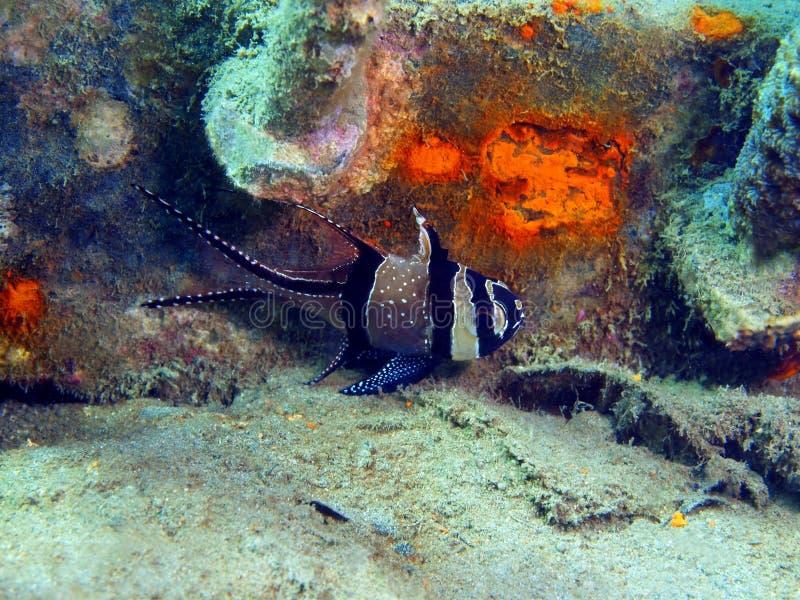 Coral Fish imagens de stock royalty free