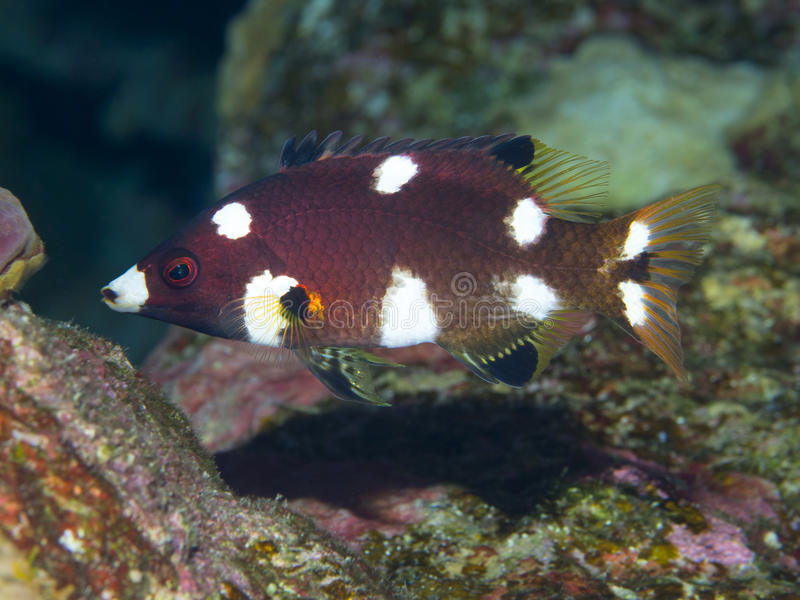 Coral fish Axilspot hogfish. Axilspot hogfish in red sea stock images