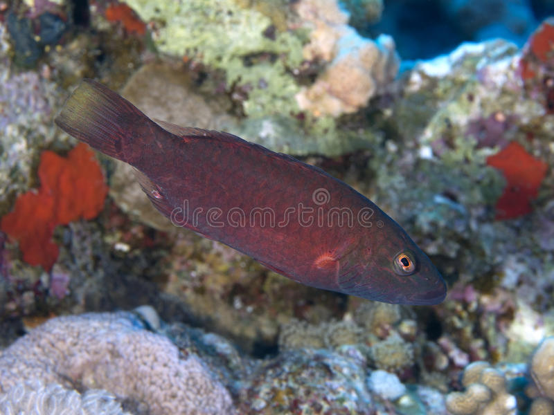 Coral fish Bandcheek wrasse. Bandcheek wrasse in Red sea, Egypt, Hurghada stock photos