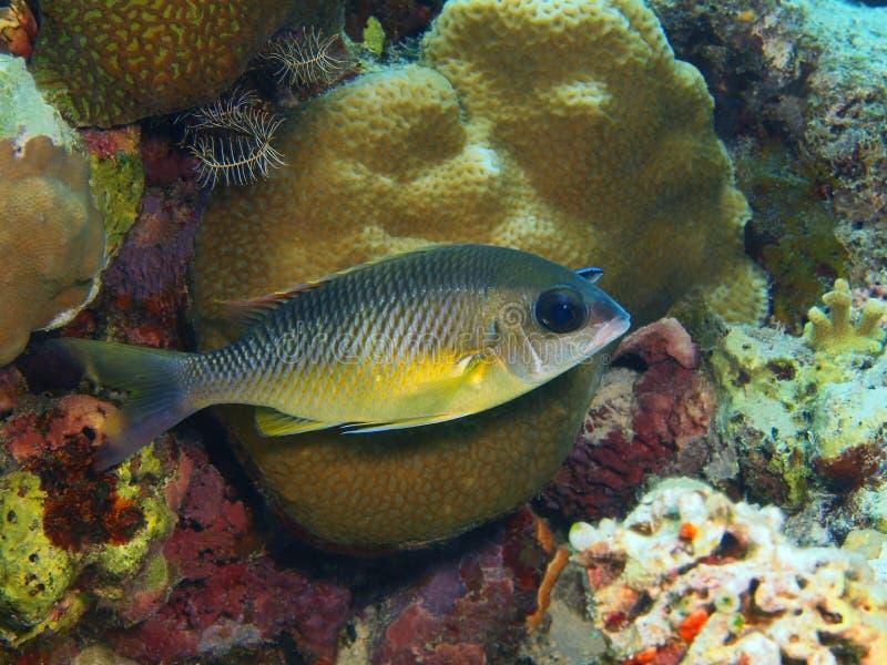 Coral Fish fotos de stock royalty free