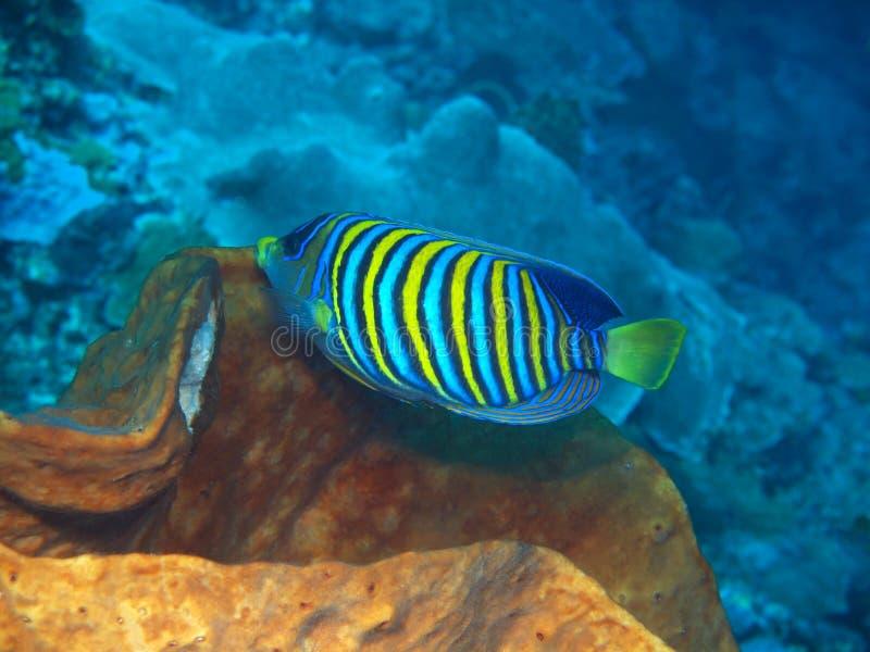 Coral Fish imagem de stock royalty free