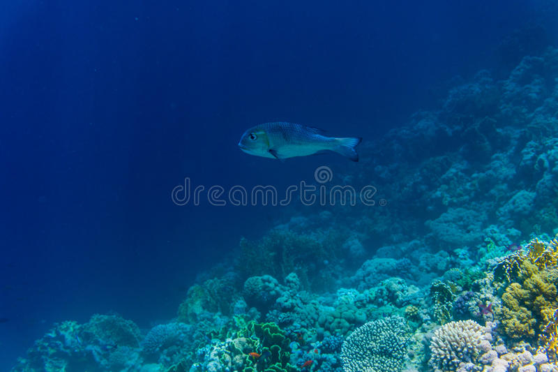Coral and fish in the Red Sea. Egypt sea stock photo