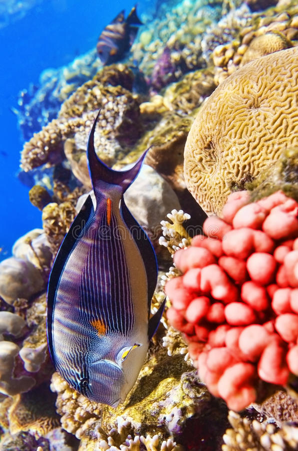 Coral and fish in the Red Sea.Fish-surgeon.