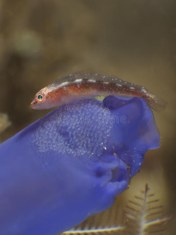 Coral fish Whip caral goby royalty free stock photography