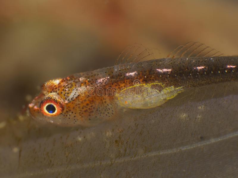 Coral fish Whip caral goby royalty free stock photo