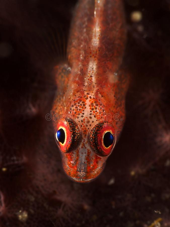 Coral fish Whip caral goby royalty free stock images