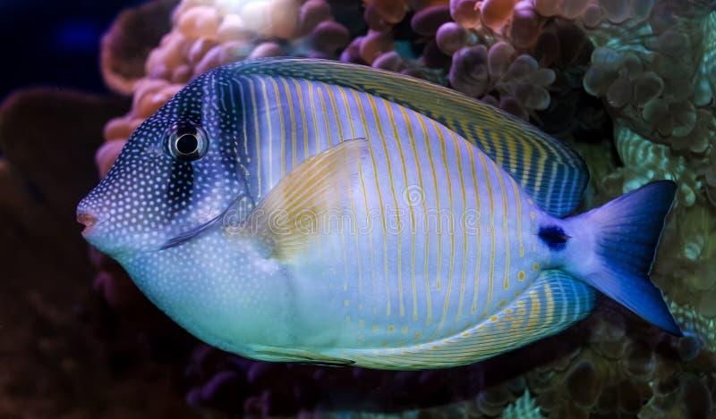 Coral fish - Zebrasoma stock photos