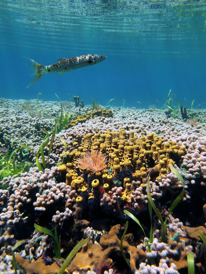Coral garden and barracuda royalty free stock photo