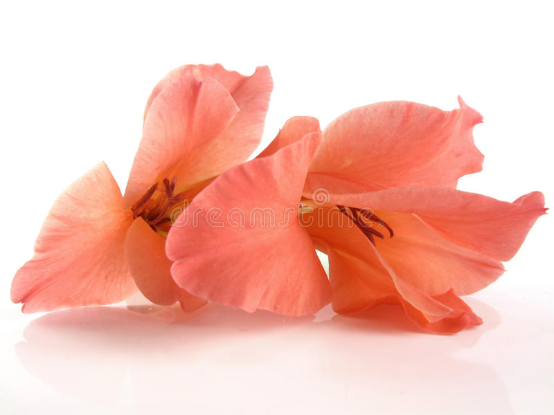 Coral Gladiolus stock images
