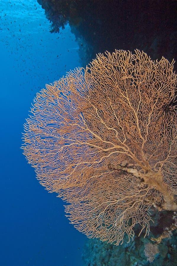 Coral gorgonian grande del ventilador fotografía de archivo libre de regalías