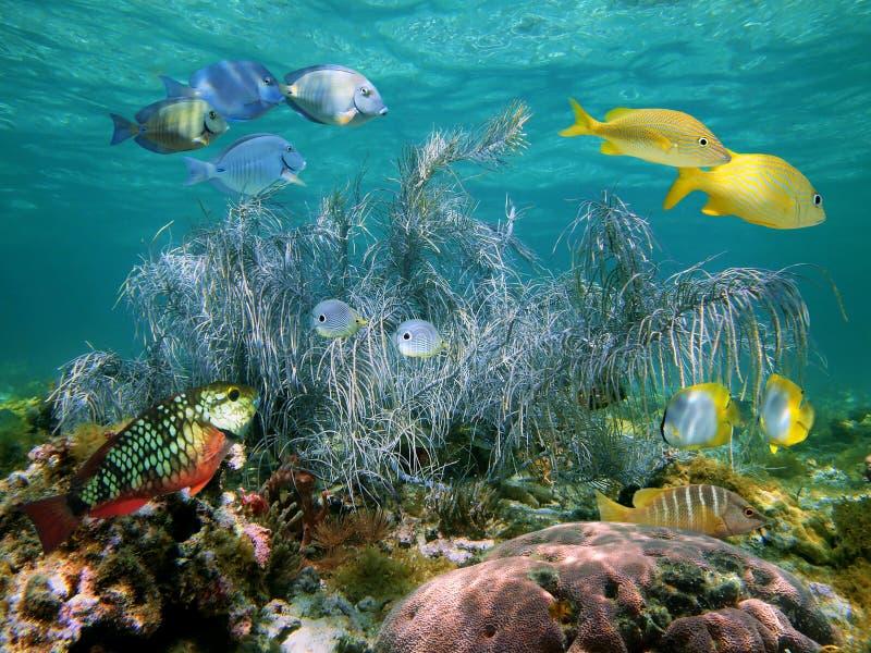 Coral gorgonian grande en agua baja imágenes de archivo libres de regalías