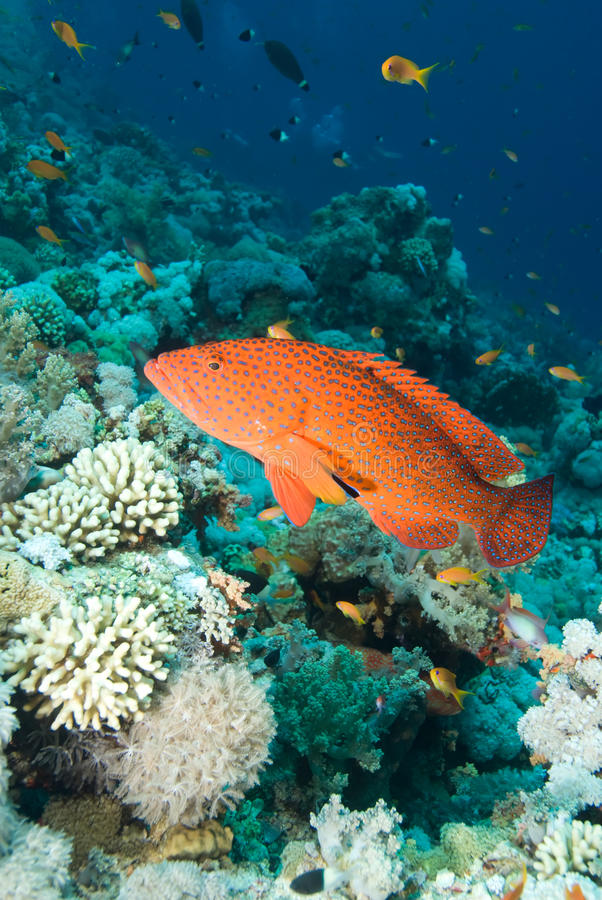 Free Coral Grouper Stock Images - 13780004