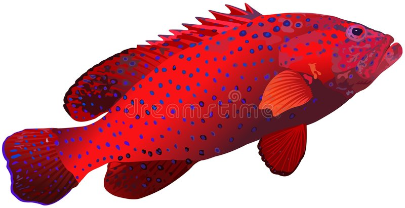 Coral grouper. The vector drawing of a sea fish living among coral reeves. Fishing royalty free illustration