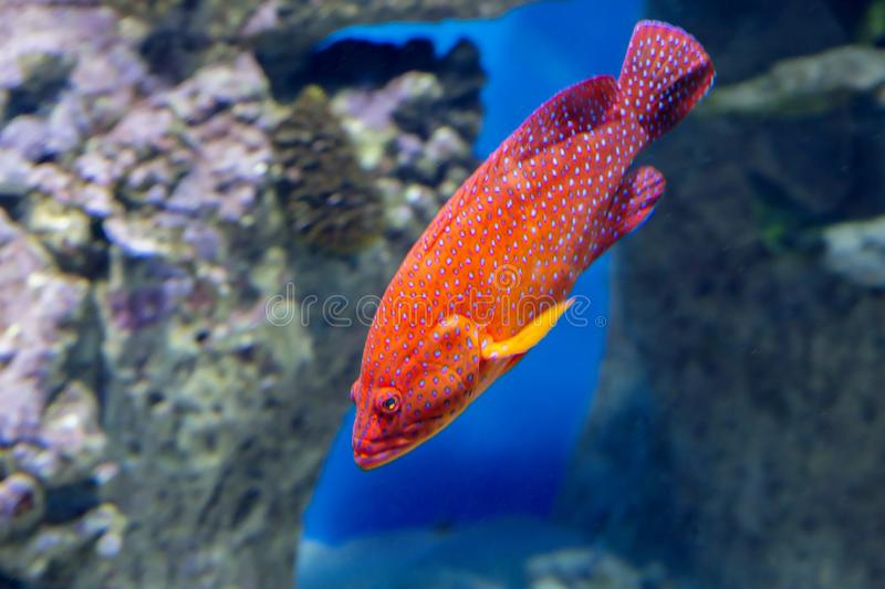 Coral Grouper. The body color of the fish is red , covered with pale lilac dots, and each dot has a dark border. Grouper red or coral group as they call this stock photography