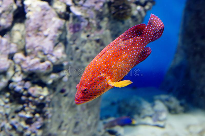 Coral Grouper. The body color of the fish is red , covered with pale lilac dots, and each dot has a dark border. Grouper red or coral group as they call this royalty free stock image
