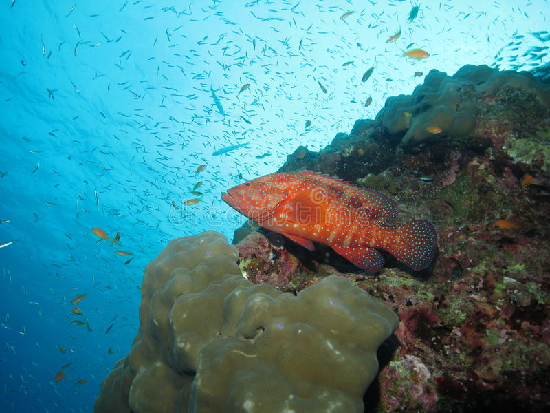 Coral grouper. (Cephalopolis miniata) resting on coral reef in the Similan Islands, Thailand stock photography