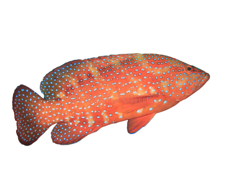 Coral Grouper fish. Grouper fish isolated on white background royalty free stock photos