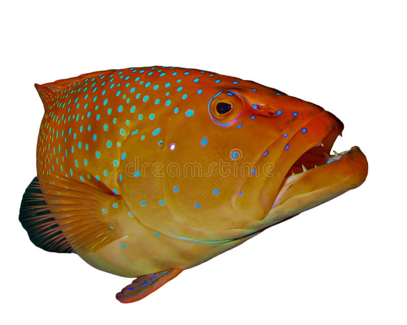 Coral Grouper fish. Grouper fish isolated on white background royalty free stock image
