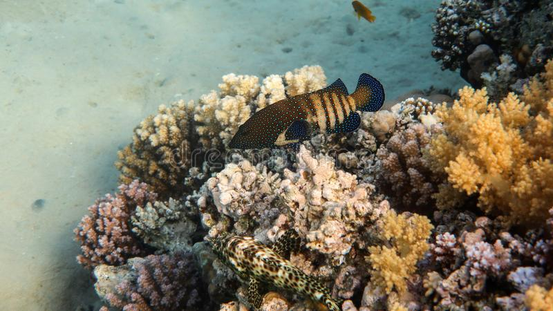 Coral Grouper in the Reef. Underwater photo of a coral grouper in the reef, Red Sea, Egypt royalty free stock image