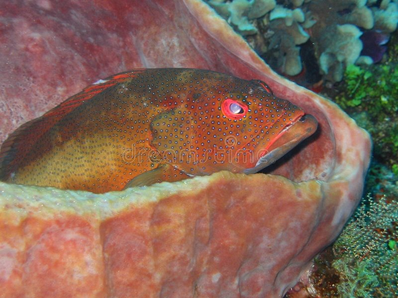 Download Coral Grouper Sitting In A Sponge Stock Photo - Image of watching, sitting: 8925934