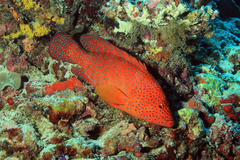 Coral Grouper royalty free stock images