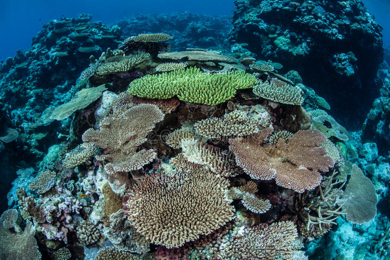 Coral Growth. New table corals grow on a reef in Palau that was devastated by a coral bleaching event. Table corals are fast growing species but they are also royalty free stock images