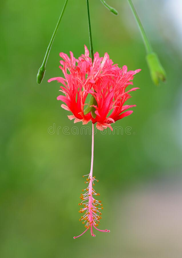 Coral Hibicus, Fringed Hibicus, Japanese Lantern, Spider Gumamela.  royalty free stock image