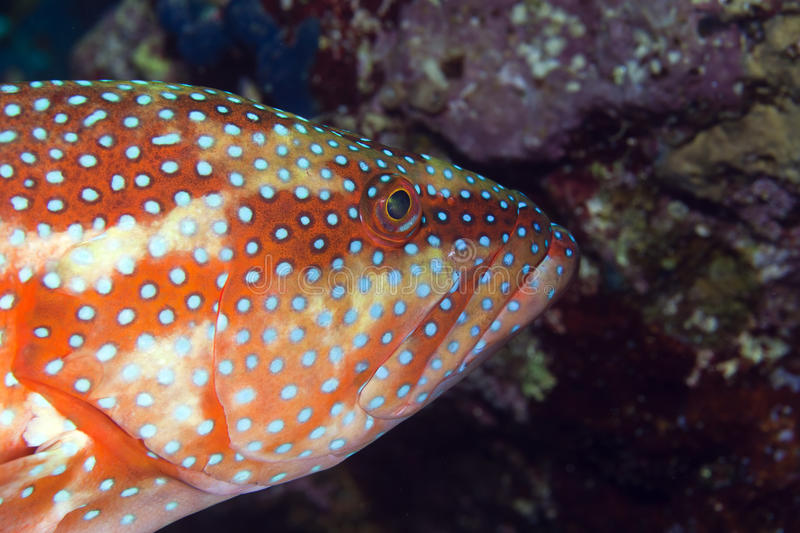 Coral hind stock image